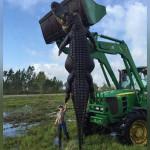 giant-780-pound-alligator-florida-header