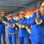 worlds-largest-python-26-feet