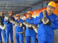 Giant Python Found in Malaysia is 26 Feet Long